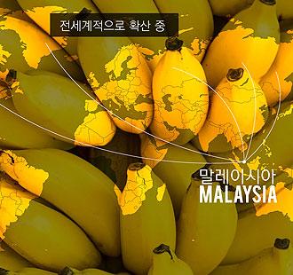 아픈 바나나, 전 세계에서 멸종되나?