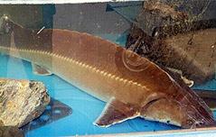 한강 하구서 희귀종 <br>철갑상어…관상용인듯