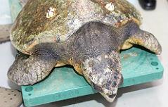 멸종위기 거북이 사체 <br>뱃속에 `폐비닐` 가득