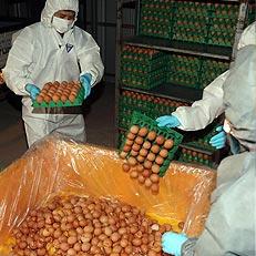 폐기되는 살충제 검출 계란