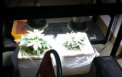 사무실서 대마초 재배 <br>7억대 판매조직 검거