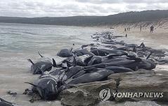 호주 들쇠고래 135마리<br> 떼죽음…억측 난무