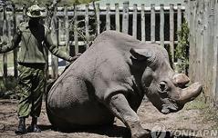멸종위기 북부흰코뿔소<br> 복원 길 열리나