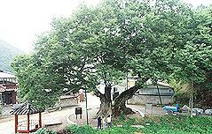 `독립군 나무`..가뭄·폭염에도 위풍당당