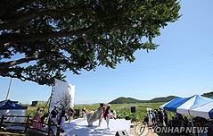 800년전 헤어진 남북<br> 은행나무의 재회