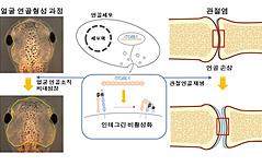 개구리서 연골 형성<br> 유전자 최초 발견