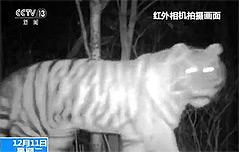 中지린성 원적외선 카메라에 포착된 호랑이