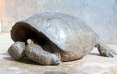 멸종 위기 갈라파고스 거북 113년만에 발견