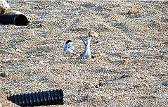 쇠제비갈매기 안동호 인공모래섬에 번식