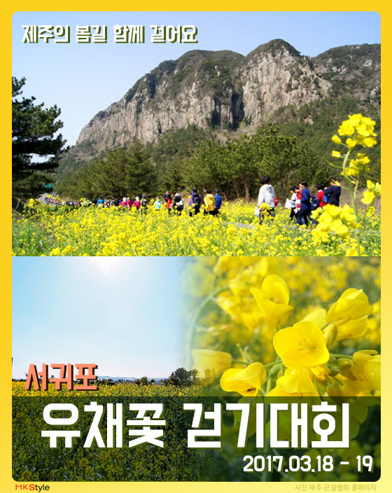 [카드뉴스] 제주의 봄길 함께 걸어요 '서귀포 유채꽃 걷기대회'