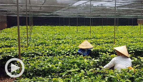 네슬레·스타벅스도 고전한 `커피 강국` 베트남