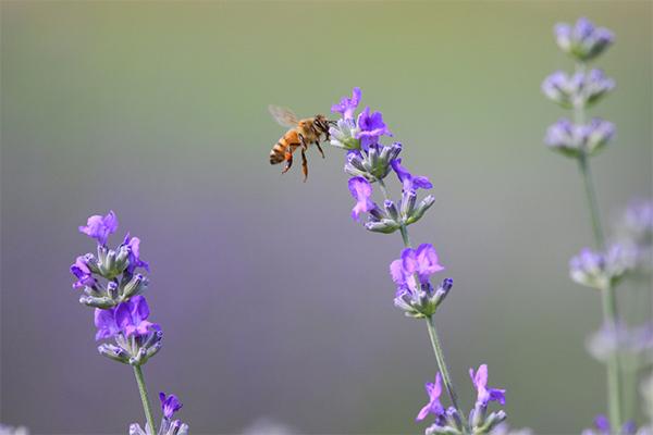 [포토뉴스] 보랏빛으로 6월 물들이는 고성 '라벤더 축제'