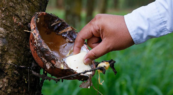 A worker collects coagulated latex at a rubber plantation in Kampong Cham's Memot district in 2014.