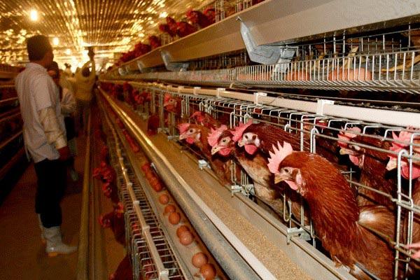 Ba Huân's 18ha hi-tech poultry egg farm in Bình Dương Province.