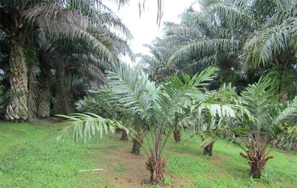 MIDF Research the European Union's latest decision to remove duties on biodiesel imports for 13 Argentine and Indonesian producers was positive for crude palm oil (CPO) price.