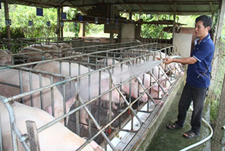 In Đồng Nai, individual pig farmers lose to foreign firms on home turf.