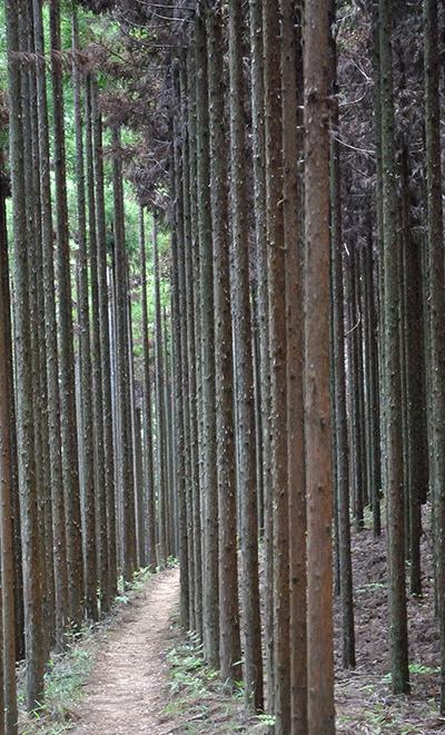교토 기타야마의 삼나무 숲.