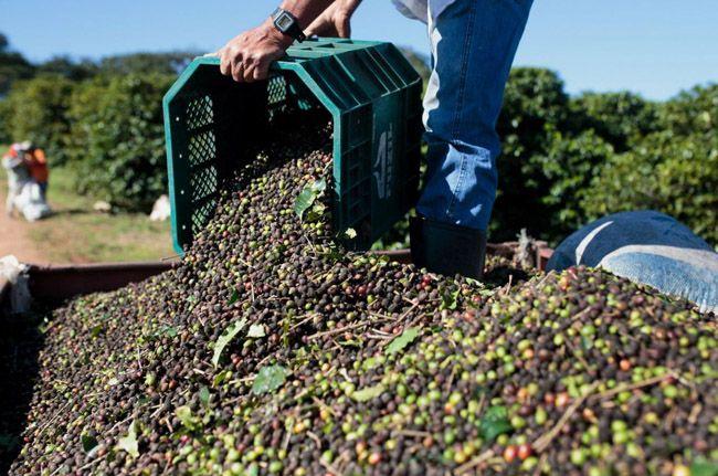 브라질 미나스 제라이스(Minas Gerais) 주의 한 농장에서 직원이 수확한 커피 체리를 바구니에 옮겨담고 있다. 남동부 지역에 속한 미나스 제라이스 주는 브라질 커피 생산의 50%가량을 차지하는 최대 커피 산지이다./사진=블룸버그Bloomberg