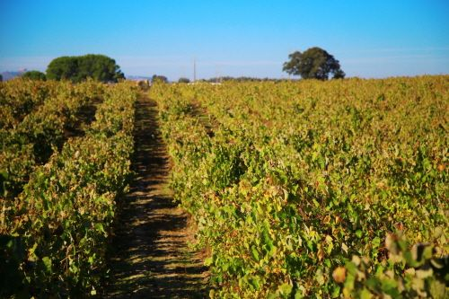 포르투갈 남부 세투발 지역 포도밭 풍경