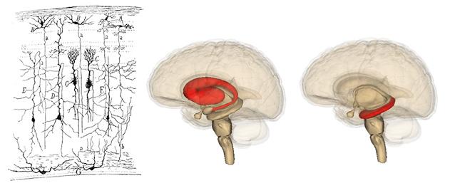 다양한 모양을 가진 여러 가지 신경세포들. 가운데: 줄무늬체 (striatum), 오른쪽: 해마 (hippocampus). /사진=https://commons.wikimedia.org/wiki/File:SparrowTectum.jpg