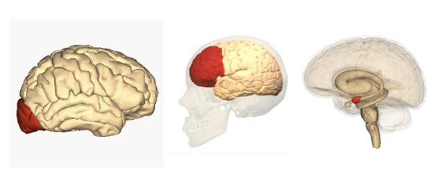왼쪽: 후두엽, 가운데: 전전두엽, 오른쪽: 편도체 /사진=wikimedia
