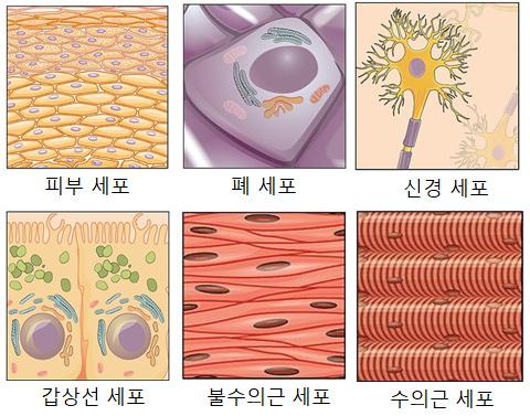 여러 종류의 세포들 /사진=https://commons.wikimedia.org/wiki/File:419_420_421_Table_04_01_updated