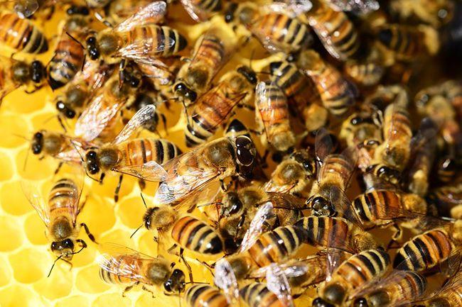 이질적인 꿀벌 집단이 벌집 안의 온도를 더 안정적으로 유지한다