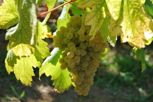화이트 와인 명산지 비뉴 베르드의 포도나무