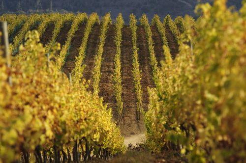 칠레의 포도밭 풍경 / 사진제공=칠레 와인협회
