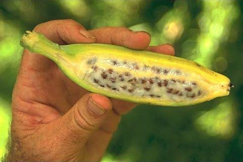 씨있는 바나나는 이런 모습이라고 합니다. /출처=유튜브 Gardening & More