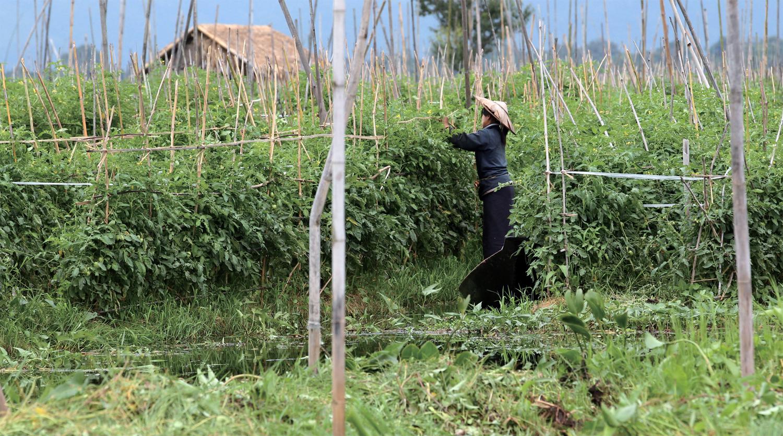 인레호수에서 수경재배를 통해 자라고 있는 방울토마토. 한 인따족 아가씨가 조그마한 보트를 탄 채 밭을 다듬고 있다.