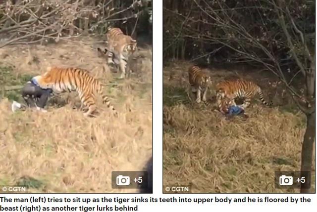 호랑이에 물려 사망한 남성. 중국의 한 남성이 지난달 29일 입장료 130위안(한화 약 2만2000원)을 아끼려다 호랑이에 물려 사망했다. /메일온라인 캡처, CGTN