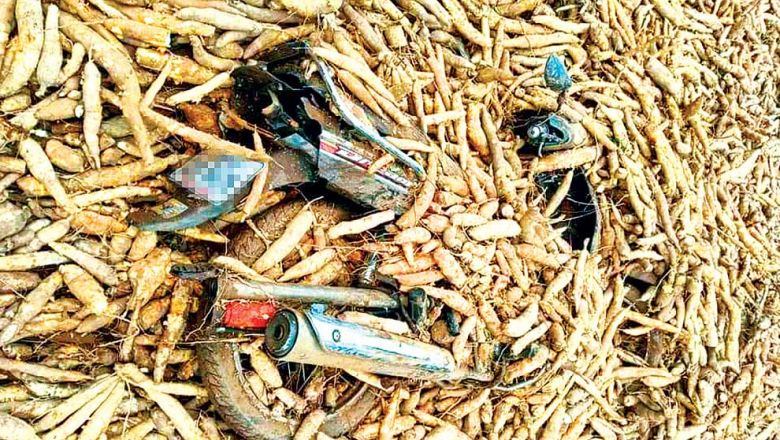 A scooter is buried in harvested cassava ready to be transported to the market in Siem Reap province. SIEM REAP THMEY DAILY NEWS VIA FACEBOOK
