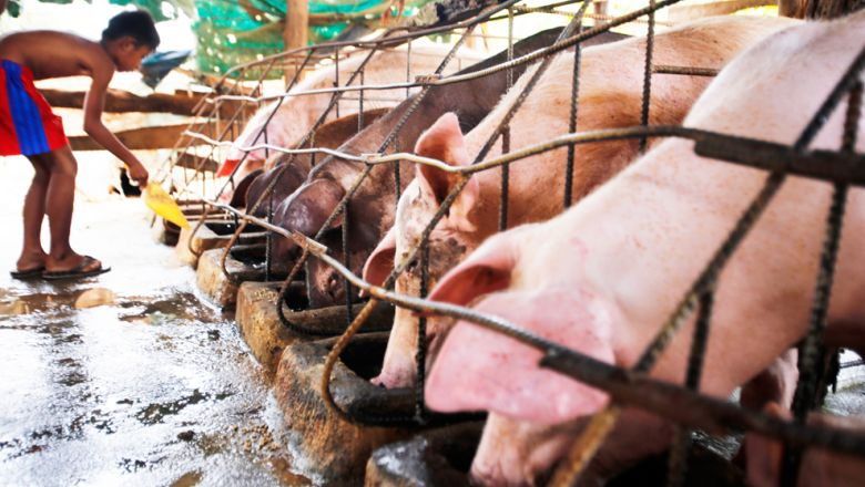 Cambodia imports between 1,500 and 2,000 pigs a day, with domestic pork demand some 5,000 per day. Photo by Heng Chivoan