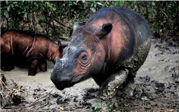 멸종위기 수마트라코뿔소. [사진 제공 = 레트 버틀러]